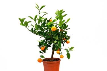 Kalamondyna drzewko