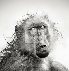 Fototapeta wet baboon portrait