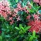 Fototapeta kwitnący na czerwono krzew fp 425