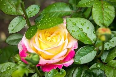 Fototapeta na ścianę różą ogrodowa po deszczu fp 682