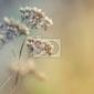 Fototapeta zbliżenie z suchych kwiatów polnych