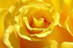 Róża - fototapeta