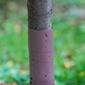 Osłonka na pnie drzew owocowych – 60 cm