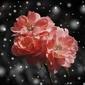 Przekwitające róże  - plakat wymiar do wyboru: 40x30 cm