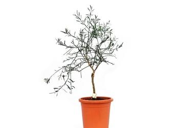 Eremocitrus glauca duże drzewko