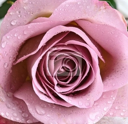 Fototapeta schöne, violette rose