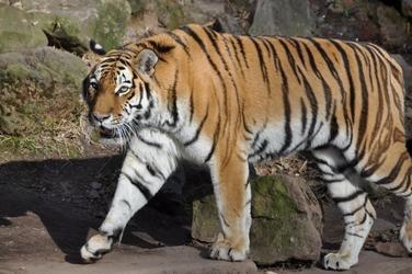 Fototapeta tygrys 546a