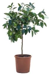 Lima tahiti drzewo
