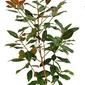 Magnolia odm. gallisoniensis duży krzew