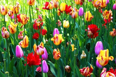 Fototapeta kwiat, tulipany 315