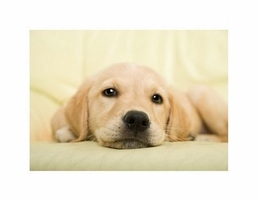 Golden retriever puppy - reprodukcja