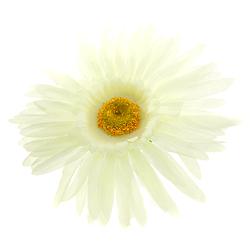 Gerbera wyrobowa 15 cm - kremowy - kremowy