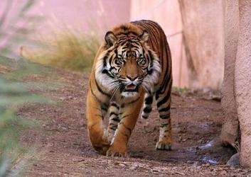 Tygrys alfa - fototapeta