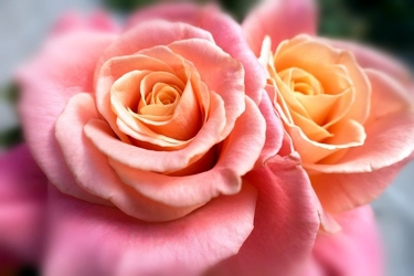 Fototapeta romantyczne róże fp 693