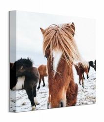 Icelandic Horse - obraz na płótnie