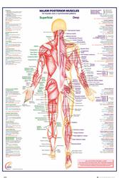 Ciało Człowieka Mięśnie - plakat