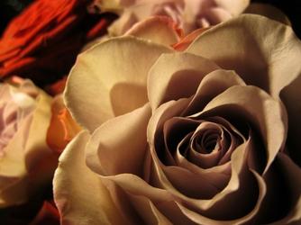 Fototapeta kwiat, róże 300