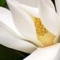 Fototapeta na ścianę magnolia w dużym zbliżeniu fp 513
