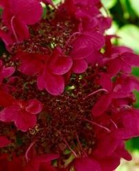 Hortensja wims red zmienia się- trzy kolory