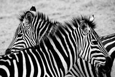 Tanzania, zebry - plakat premium wymiar do wyboru: 84,1x59,4 cm