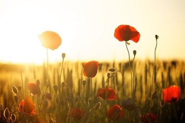 Obraz kwitnące maki przy zachodzie słońca fp 1511 p