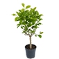 Cytryna siracusano duże drzewko