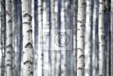 Fototapeta brzozy w kolorze niebieskim