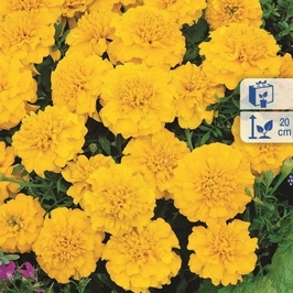 Aksamitka goldzwerg – żółta – kiepenkerl