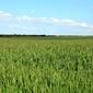 Fototapeta zieolne pola zbóż fp 1743