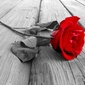 Czerwona róża na deskach pomostu - plakat wymiar do wyboru: 70x50 cm