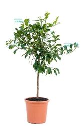 Lima kaffir drzewo