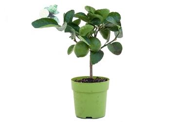 Lima tahiti małe drzewko
