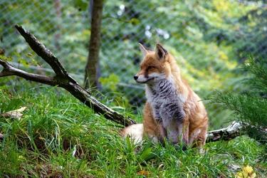 Fototapeta lis siedzący na trawie fp 2856