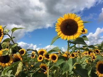 Fototapeta kwiat, słoneczniki 285