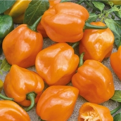 Papryka habanero orange – pomarańczowa – kiepenkerl
