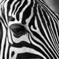 Czarno - białe paski - zebra - plakat wymiar do wyboru: 29,7x21 cm