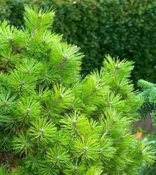 Sosna jane kluis,cluis zielony gęsty dywan