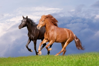Fototapeta konie 882s