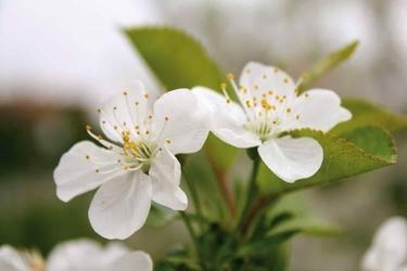 fototapeta kwiat jabłoni 053