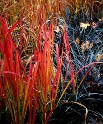 Imperata cylindryczna red baron czerwona trawa