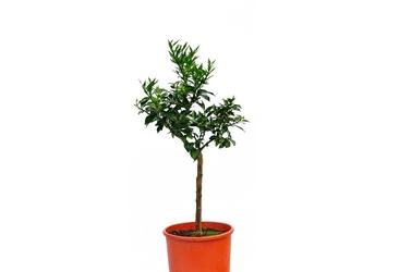 Pomarańcza chinotto drzewko
