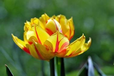Fototapeta rozłożyste tulipany fp 316