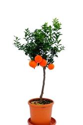 Pomarańcza chinotto duże drzewko