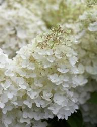 Hortensja bukietowa grandiflora mega kwiat