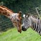 Obraz na płótnie canvas czteroczęściowy tetraptyk zebra i żyrafa