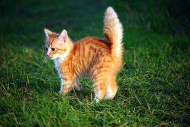 Fototapeta mały kot z postawionym ogonem fp 2766