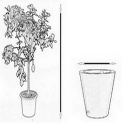 Kalamondyna variegata drzewko