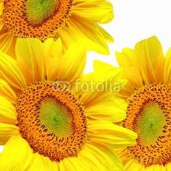 Naklejka samoprzylepna żywe słoneczniki