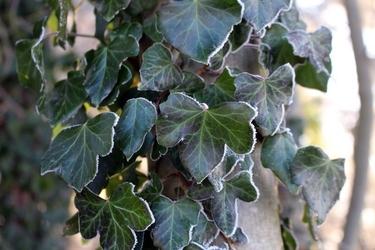 Fototapeta zielony bluszcz pokryty szronem fp 360