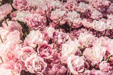 Fototapeta na ścianę bladoróżowe pęki kwiatów fp 4763
